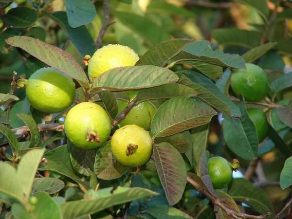 8 loại cây giải độc trong trường hợp khẩn cấp - Ảnh 1