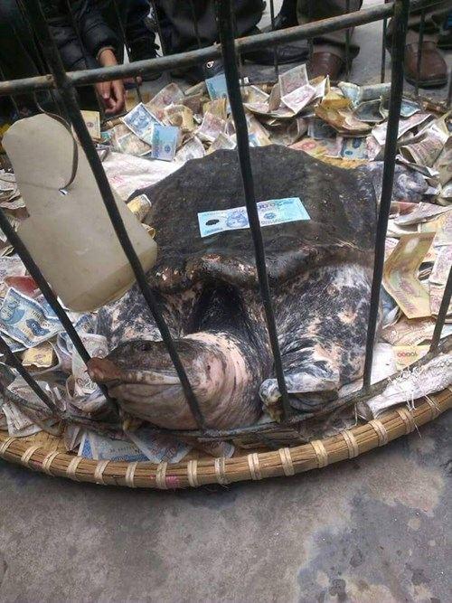 Bắt được ba ba nặng 17,5 kg, người dân kéo đến thả tiền cầu may - Ảnh 2