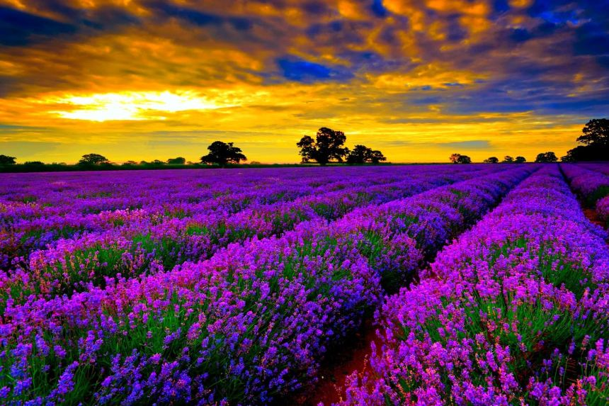"""Chiêm ngưỡng cánh đồng hoa oải hương """"mê hoặc lòng người"""" tại Provence"""