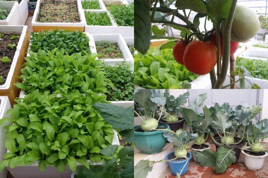 Mãn nhãn vườn rau củ xanh mướt của cô giáo trẻ