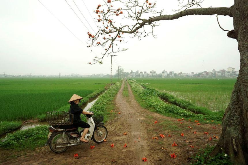 Hoa gạo đẹp ngỡ ngàng trên đồng quê ngoại thành Hà Nội