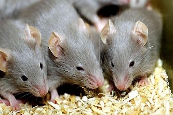 Mách bạn 3 cách đơn giản từ nguyên liệu nhà bếp để nhà không có bóng dáng con chuột nào