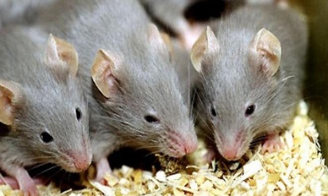 Chỉ cách để nhà không có bóng dáng con chuột nào mà chẳng cần thuốc diệt