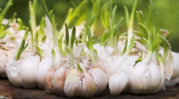 Đừng vội vứt những thực phẩm mọc mầm này đi vì chúng đều là 'thần dược' đối với sức khỏe - Ảnh 3