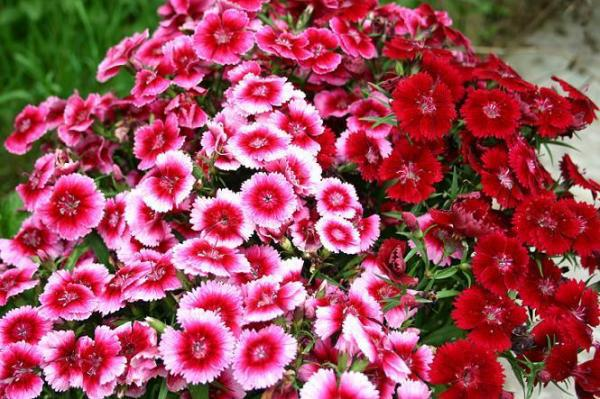 Khám phá ý nghĩa của loài hoa cẩm chướng ít ai biết đến - Ảnh 1