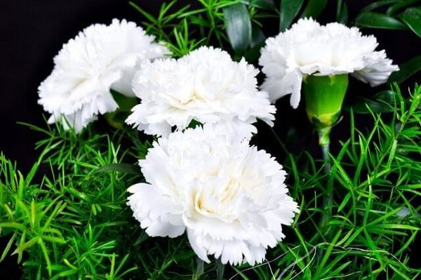 Khám phá ý nghĩa của loài hoa cẩm chướng ít ai biết đến - Ảnh 2