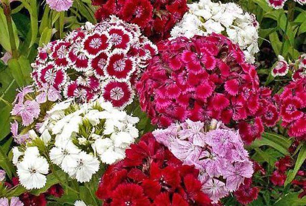 Khám phá ý nghĩa của loài hoa cẩm chướng ít ai biết đến - Ảnh 3
