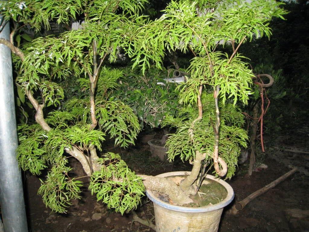 Cây đinh lăng là một loại dược liệu quý được ví như nhân sâm của Việt Nam