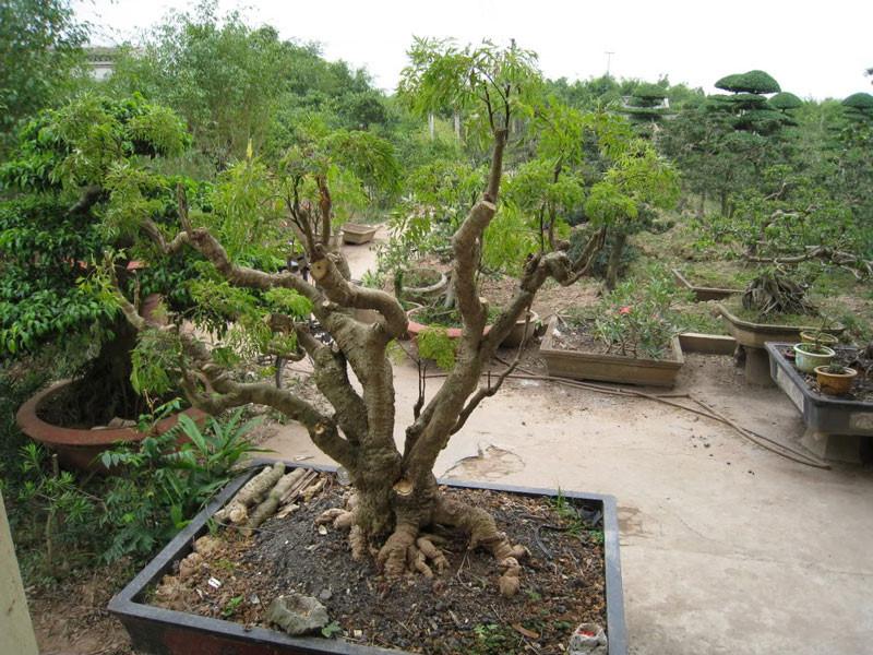 Chọn đất trồng cây đinh lăng nên lựa đất tơi xốp giữ cây luôn thoáng khí và cung cấp đủ chất <a target='_blank' href='https://www.phunuvagiadinh.vn/dinh-duong-2'>dinh dưỡng</a> nuôi cây