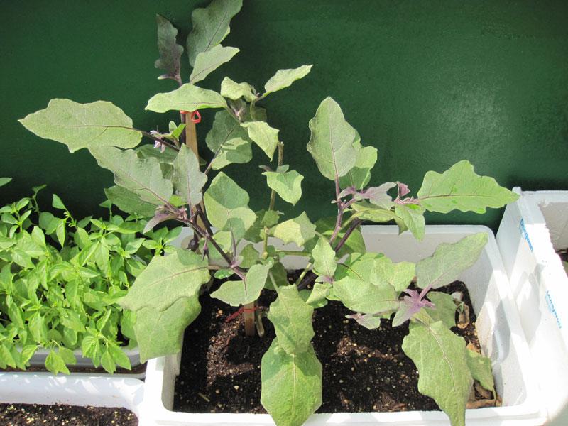 Mách chị em cách trồng cà tím ngừa ung thư trong thùng xốp cực đơn giản tại nhà - Ảnh 3