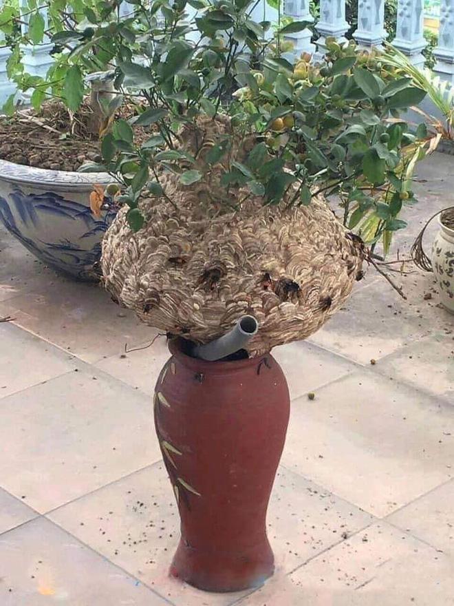 Chậu cây quất có hình thù kỳ lạ, tới gần mới tìm được lời giải: 'Khách nào dám tới chúc Tết?' - Ảnh 1
