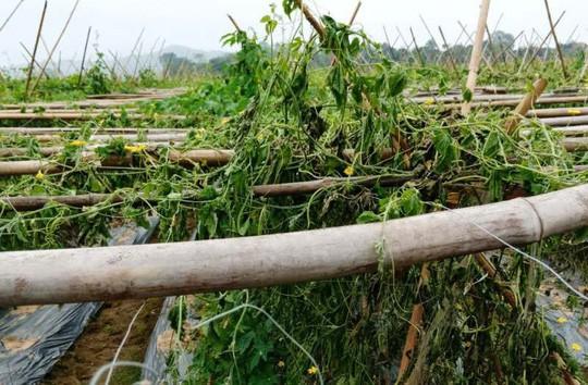Xót xa nhìn 8 sào khổ qua đến ngày thu hoạch bị nhổ rễ, chết héo - Ảnh 1