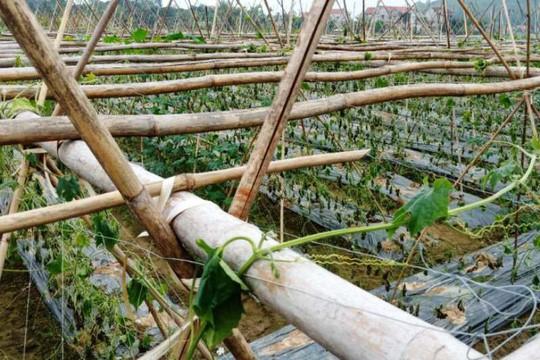 Xót xa nhìn 8 sào khổ qua đến ngày thu hoạch bị nhổ rễ, chết héo - Ảnh 3