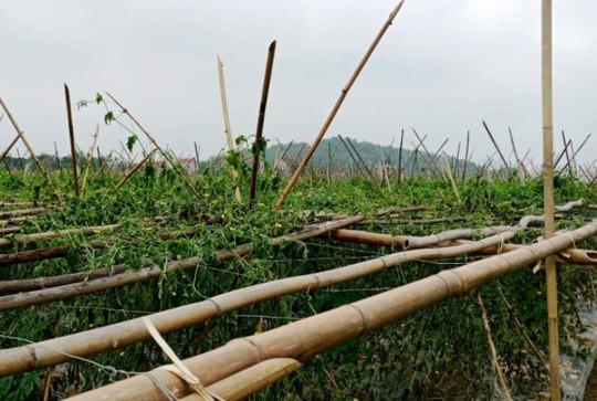 Xót xa nhìn 8 sào khổ qua đến ngày thu hoạch bị nhổ rễ, chết héo - Ảnh 4