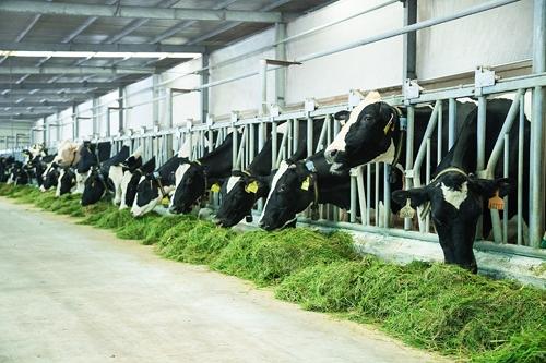Vùng nguyên liệu bò sữa giúp Vinamilk dẫn đầu thị trường sữa tươi - Ảnh 5