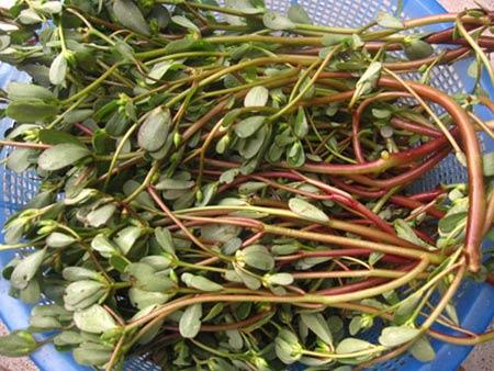 Mách chị em cách trồng rau sam, 'thần dược' chữa bách bệnh cực đơn giản tại nhà - Ảnh 3