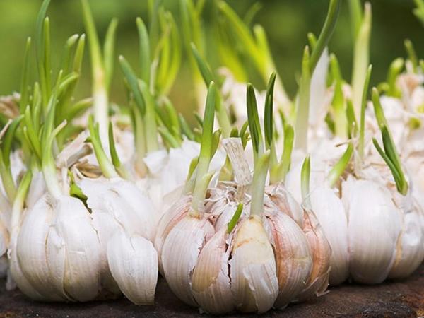 6 thực phẩm mọc mầm không hề độc mà là 'thần dược' ngừa cả ung thư nhiều người bỏ phí - Ảnh 9