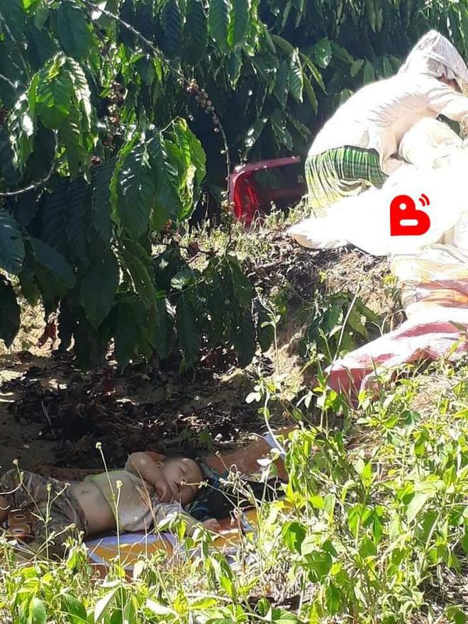 Hình ảnh cậu bé bụ bẫm nằm ngủ dưới gốc cây cà phê khi theo bố mẹ lên rẫy 'đốn tim' cộng đồng mạng vì quá sức dễ thương - Ảnh 3