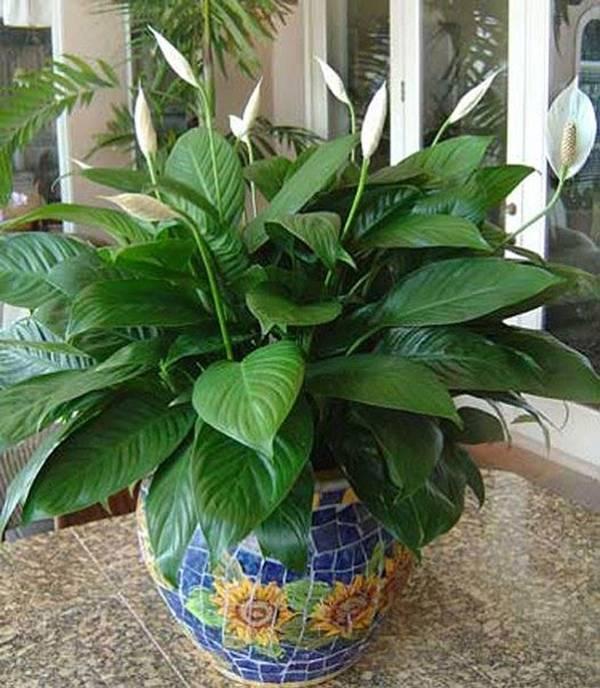 Những cây cảnh để trong nhà vừa may mắn vừa tốt cho sức khoẻ - Ảnh 3