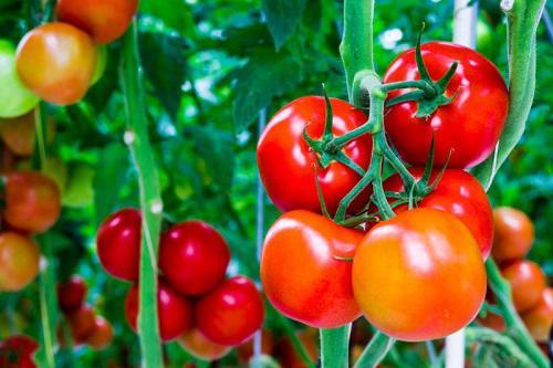 Mách nhỏ nàng cách đắp mặt nạ cà chua an toàn, hiệu quả mà lại đơn giản và tiết kiệm - Ảnh 3