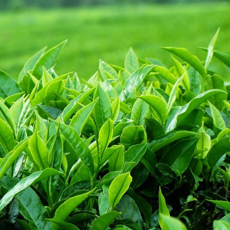 Nếu biết tác dụng 'thần kỳ' đối với nhan sắc này của nước trà xanh, chắc chắn bạn sẽ uống chúng mỗi ngày - Ảnh 2
