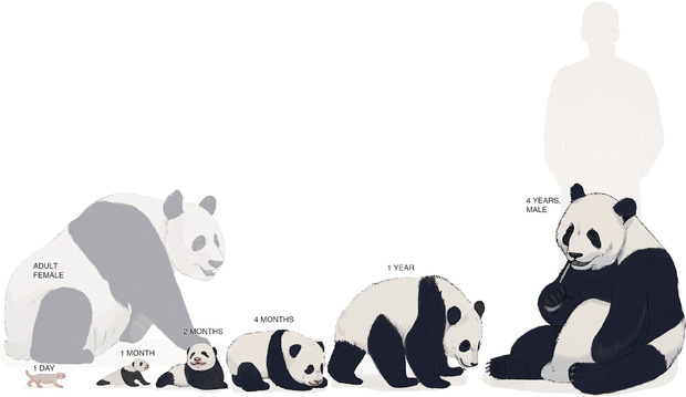 Gấu trúc thân xác to đùng nhưng sao sinh con nặng chỉ 100 grams, bằng 1/900 gấu mẹ: Kiến thức không sách vở nào dạy bạn - Ảnh 2