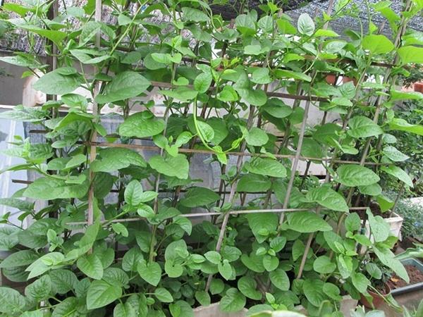 Cách trồng rau mồng tơi cực đơn giản tại nhà, chẳng cần tốn công chăm sóc cây vẫn 'lớn nhanh như thổi' - Ảnh 4