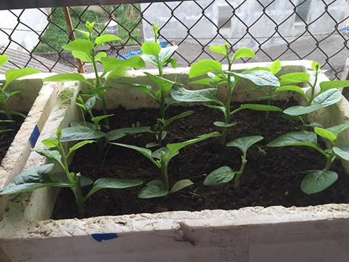 Cách trồng rau mồng tơi cực đơn giản tại nhà, chẳng cần tốn công chăm sóc cây vẫn 'lớn nhanh như thổi' - Ảnh 3