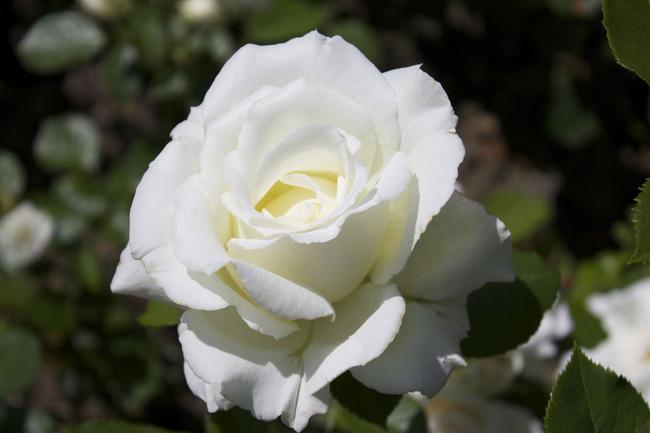 8 loài hoa được lấy cảm hứng từ các thành viên của gia đình Hoàng gia Anh bạn có thể trồng trong vườn nhà mình - Ảnh 1