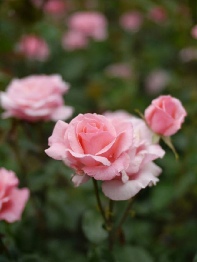 8 loài hoa được lấy cảm hứng từ các thành viên của gia đình Hoàng gia Anh bạn có thể trồng trong vườn nhà mình - Ảnh 2