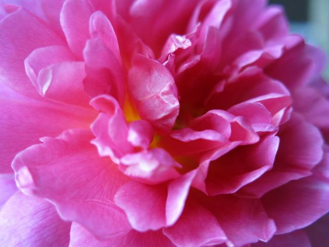 8 loài hoa được lấy cảm hứng từ các thành viên của gia đình Hoàng gia Anh bạn có thể trồng trong vườn nhà mình - Ảnh 4