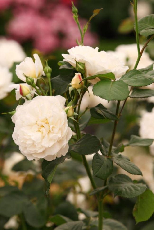 8 loài hoa được lấy cảm hứng từ các thành viên của gia đình Hoàng gia Anh bạn có thể trồng trong vườn nhà mình - Ảnh 5