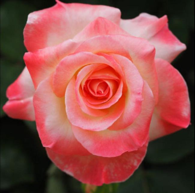 8 loài hoa được lấy cảm hứng từ các thành viên của gia đình Hoàng gia Anh bạn có thể trồng trong vườn nhà mình - Ảnh 8