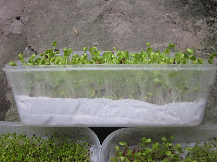 Cách trồng rau mầm bằng giấy ăn cực đơn giản tại nhà, thu hoạch mỏi tay không hết - Ảnh 4