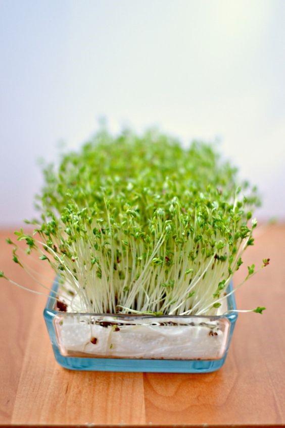Cách trồng rau mầm bằng giấy ăn cực đơn giản tại nhà, thu hoạch mỏi tay không hết - Ảnh 1