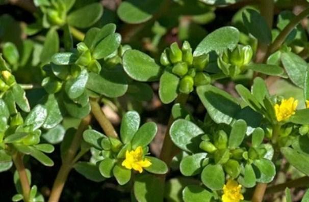 4 loại rau được người Việt xưa mệnh danh là 'trường thọ', quý hơn cả nhân sâm - Ảnh 4