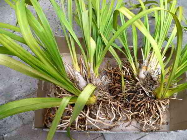 Cây địa lan cần một lớp bao phủ giữ độ ẩm vừa phải, giúp rễ không bị úng nước