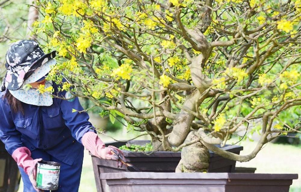 Tỉa bớt cành lá hư hại, sâu bệnh cho cây mai giúp cây phát triển tốt hơn