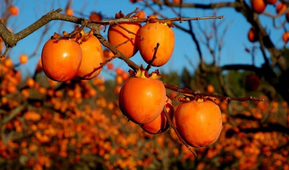 Loại quả chỉ có vào mùa thu, trông giống như cà chua ăn vừa ngon lại có thể chữa khỏi một loạt bệnh! - Ảnh 4