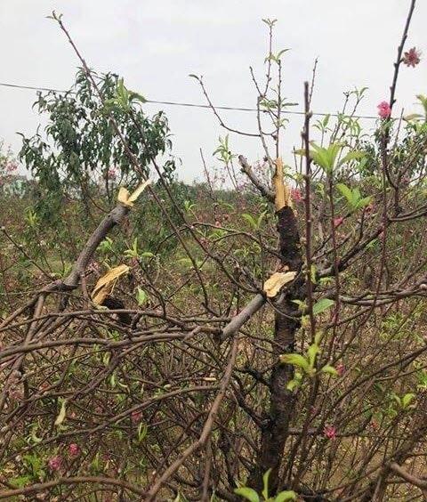 Giáp Tết, 11 gia đình khóc ròng vì bị kẻ gian chặt phá 147 gốc đào quý trong đêm - Ảnh 3