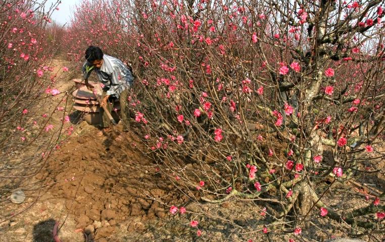 Đất trồng đào nên là loại đất tơi xốp, thoáng khí, nhiều dinh dưỡng