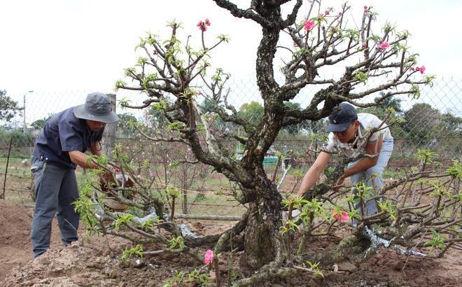 Cần theo dõi sự phát triển của cây đào sau khi trồng lại