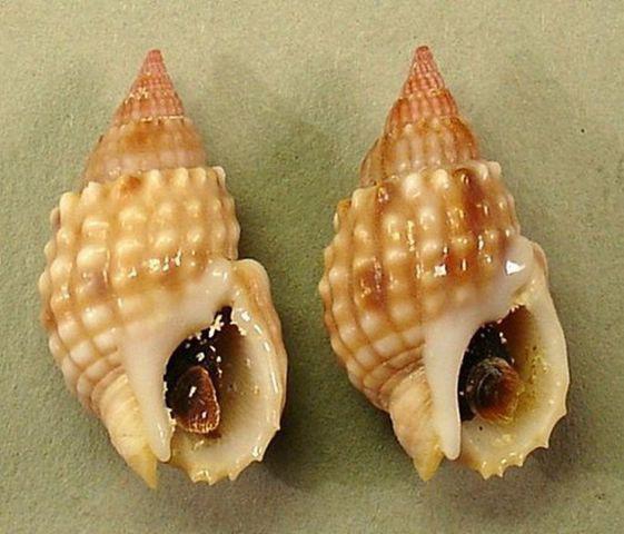 Khi ăn ốc: Hãy tránh xa loài ốc này vì nó có độc tố mạnh hơn cả cá lóc và sẽ giết bạn trong tích tắc - Ảnh 3