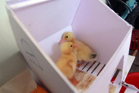 Cả chung cư được nuôi vịt sau sự cố của người bán trứng vịt lộn - Ảnh 3