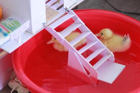 Cả chung cư được nuôi vịt sau sự cố của người bán trứng vịt lộn - Ảnh 4