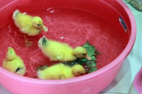 Cả chung cư được nuôi vịt sau sự cố của người bán trứng vịt lộn - Ảnh 5