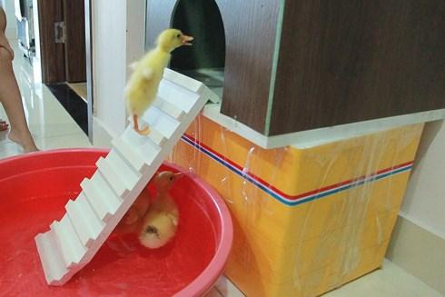 Cả chung cư được nuôi vịt sau sự cố của người bán trứng vịt lộn - Ảnh 8