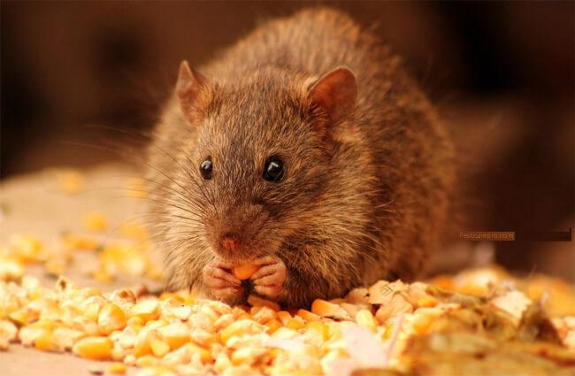 Cách bẫy chuột bằng khoai tây hiệu quả không ngờ chỉ sau 1 đêm - Ảnh 3