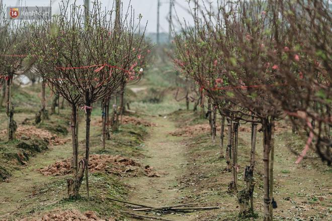 Gần 200 gốc đào của người dân Bắc Ninh bị chặt phá trong đêm: 'Tết năm nay còn chả có bánh chưng mà ăn' - Ảnh 1
