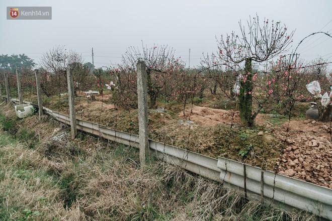 Gần 200 gốc đào của người dân Bắc Ninh bị chặt phá trong đêm: 'Tết năm nay còn chả có bánh chưng mà ăn' - Ảnh 6
